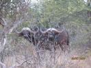 DVM Farming Buffels_17