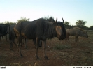 Goue Wildebeeste